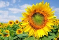 Report Text About Sunflower